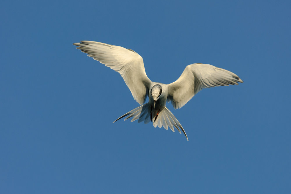 FORSTER'S TERN (WINTER)