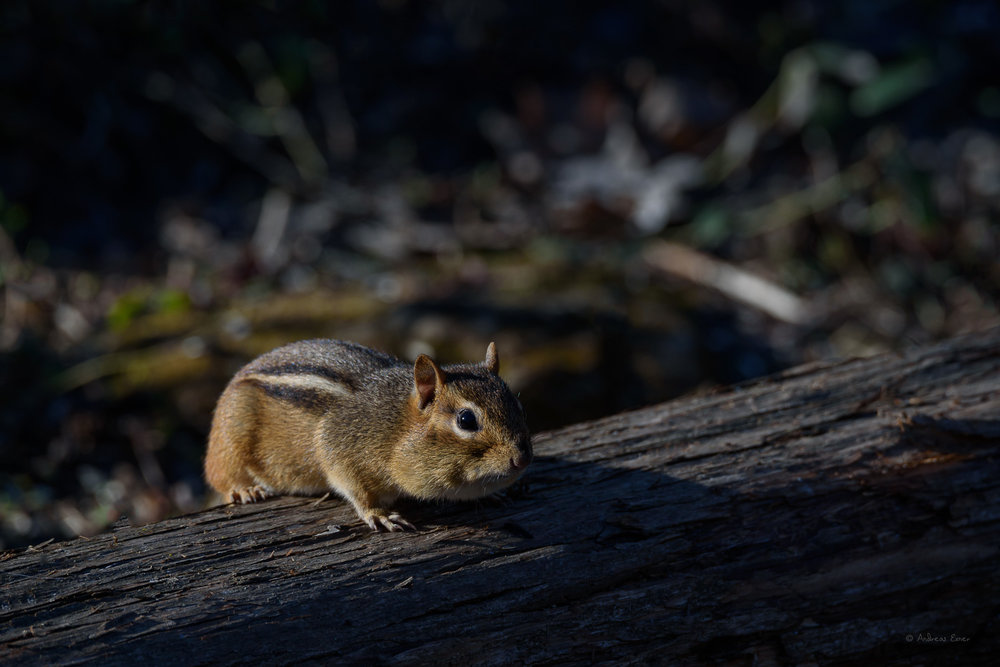 Eastern Chipmunk - first appearance this spring