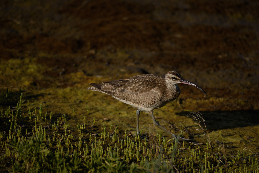 Whimbrel, Bolsa Chica Ecological Reserve, California --------