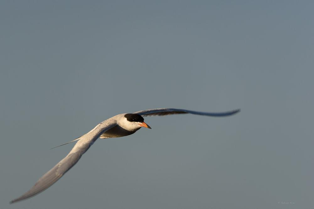 Foster's Tern, Bolsa Chica Ecological Reserve, California