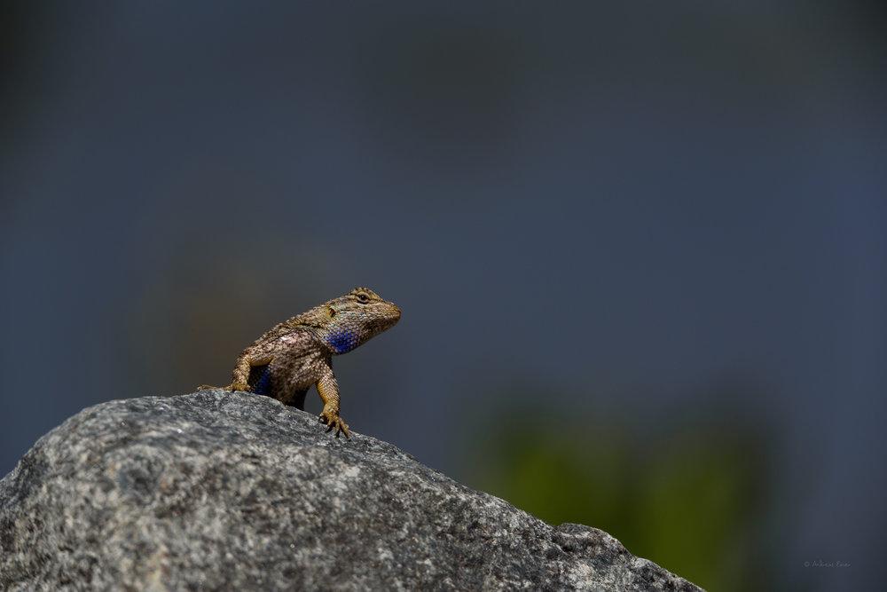 Male Western Fence Lizard, San Joaquin Wildlife Sanctuary, Irvine, California -------