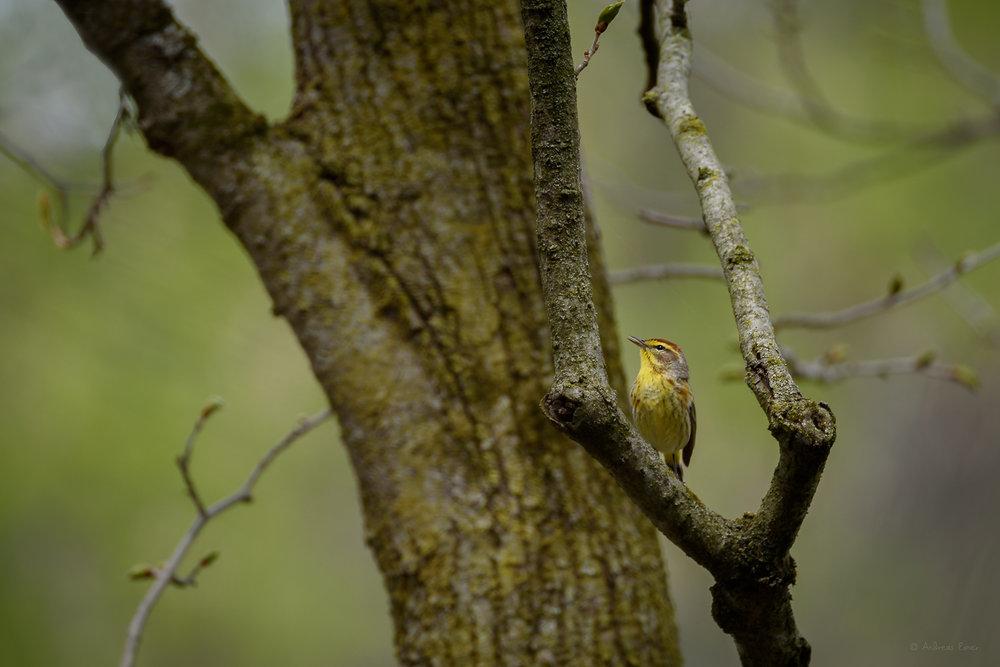 Palm Warbler, Little Maquoketa River Valley near Durango, Iowa --------