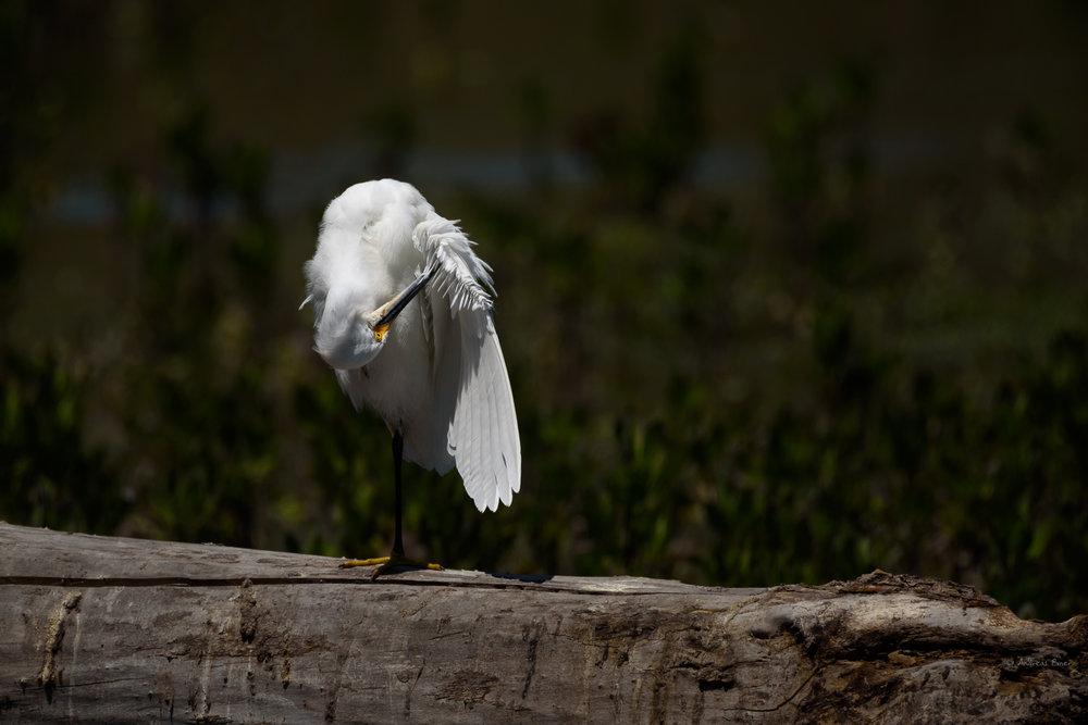 Snowy Egret, San Joaquin Wildlife Sanctuary, Irvine, California ---------
