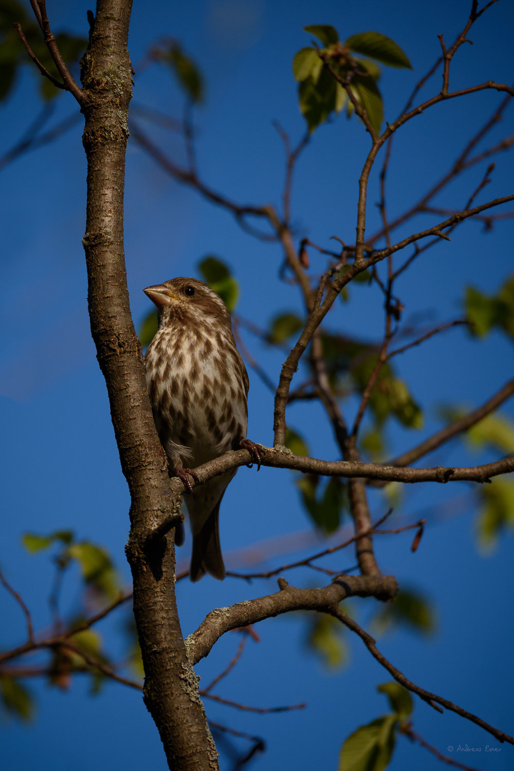 Female Purple Finch, has still not left for their summer grounds up in northern Minnesota and Canada.