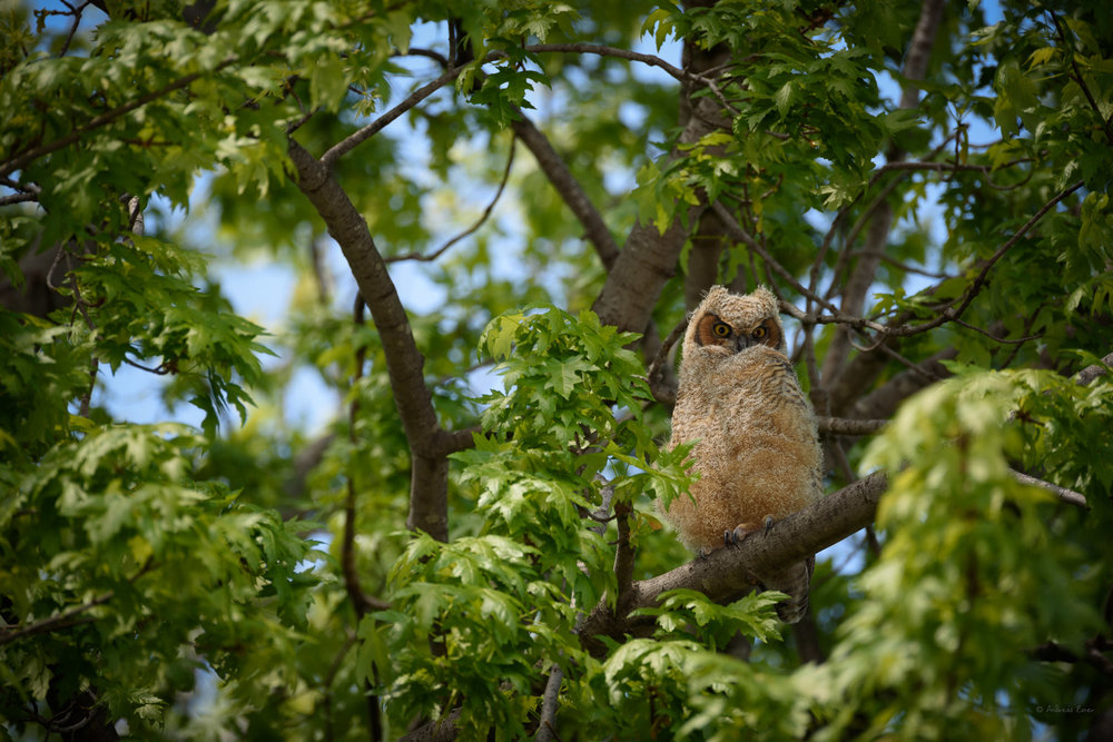 Juvenile Great Horned Owl, Mississippi River, Mud Lake, Iowa ---------
