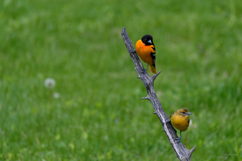 Male and female Baltimore Orioles --------