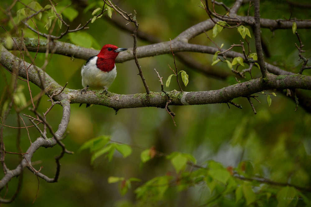Red-headed Woodpecker, Little Maquoketa River Valley, near Durango, Iowa ------