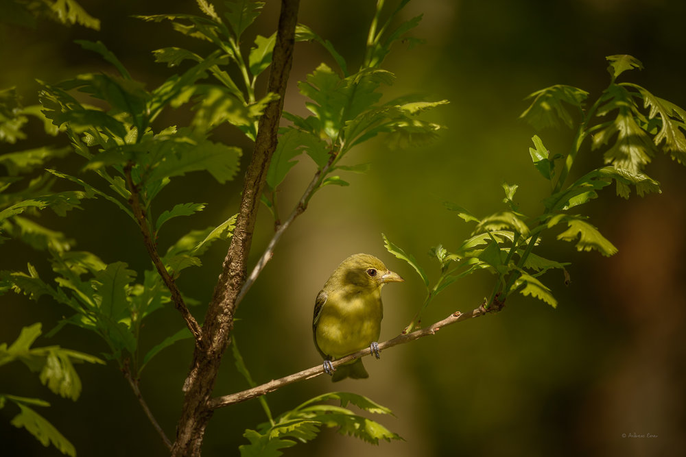 Female Scarlet Tanager ----------
