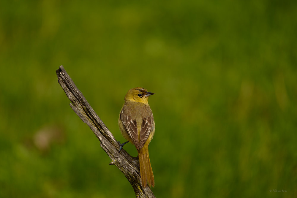 ORCHARD ORIOLE, FEMALE