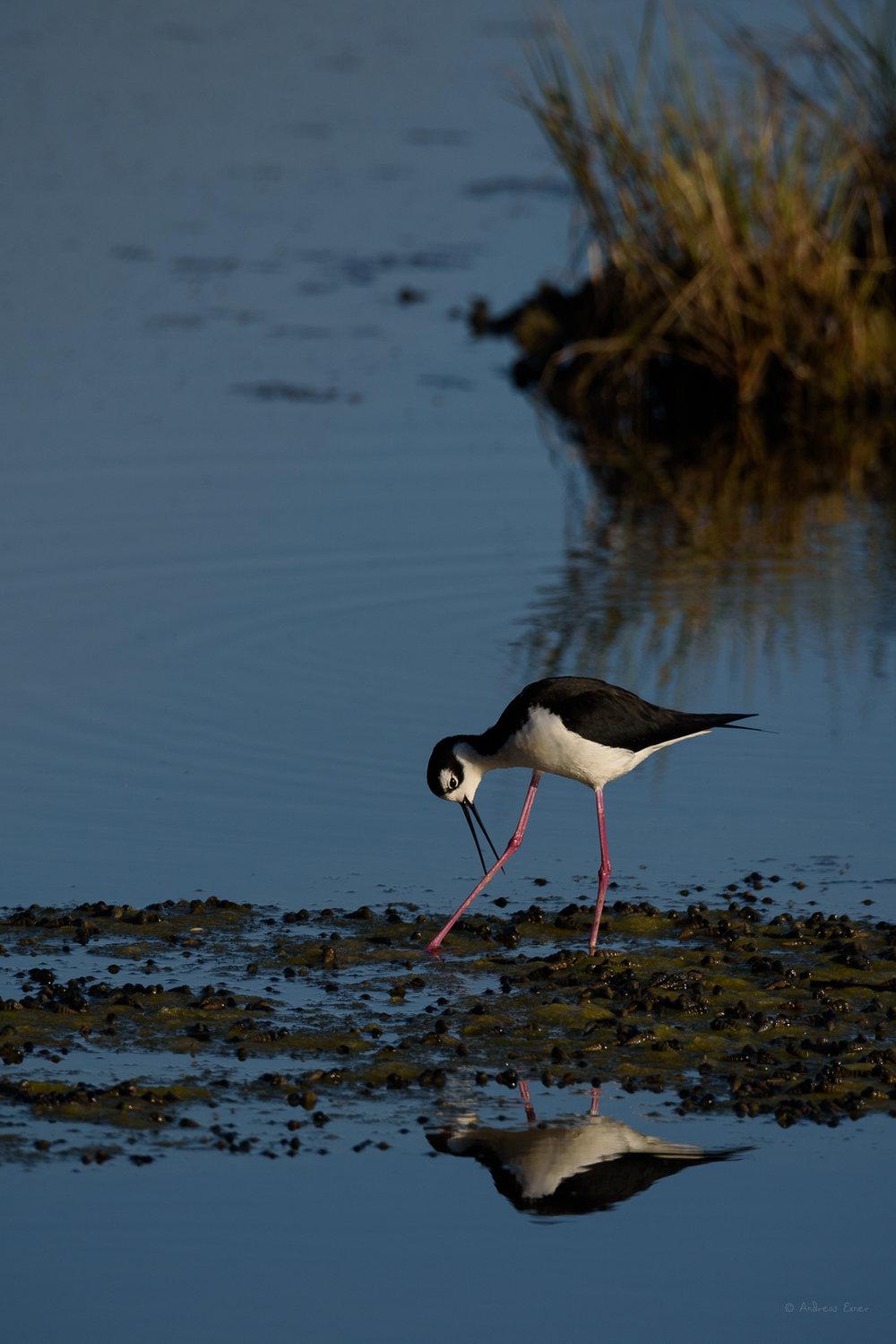 Black-necked Stilt, Bolsa Chica Ecological Reserve, California
