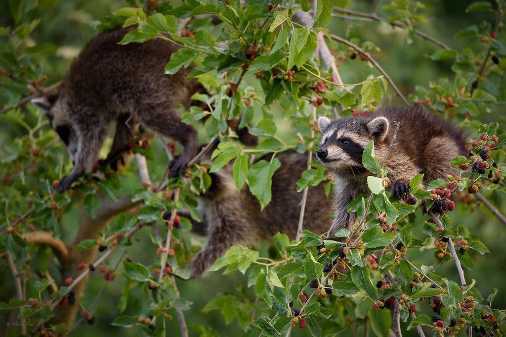 Young Raccoons, Green Island Wetlands, Iowa --------