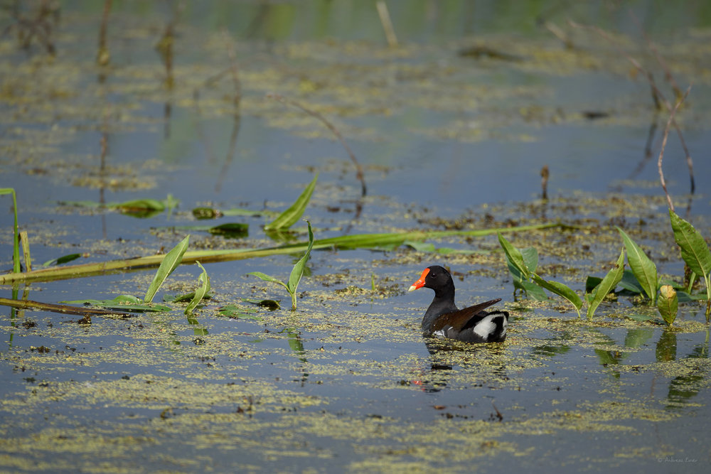 Common Gallinule, Mississippi River, Green Island Wetlands, Iowa ----------