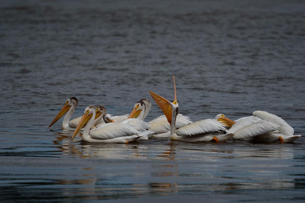 American White Pelicans, Mississippi River, Lock & dam #11, Dubuque, Iowa ------