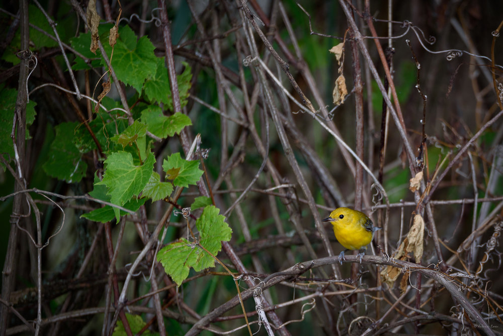 Prothonotary Warbler, Mississippi River, Green Island Wetlands, Iowa ------