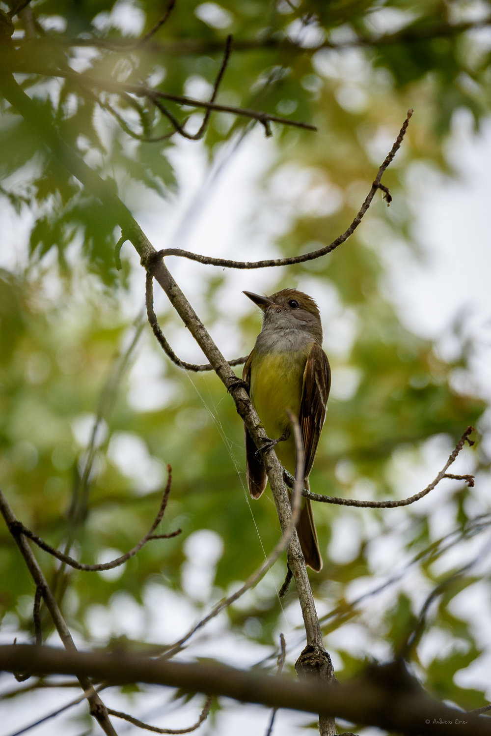 Great Crested Flycatcher, Mississippi River, Green Island Wetlands, Iowa