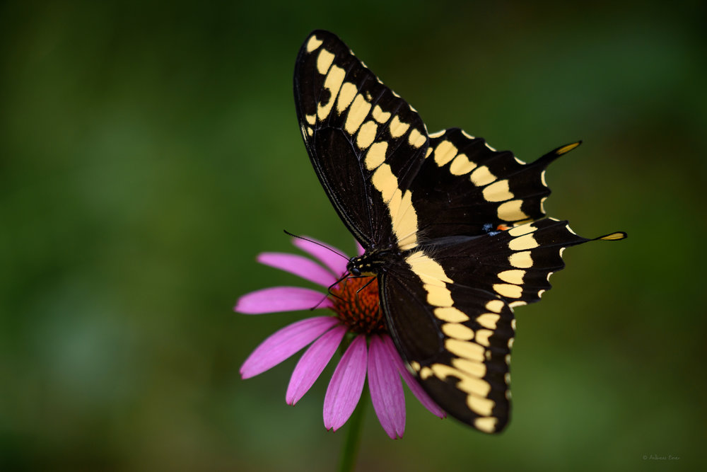 Giant Swallowtail, Little Maquoketa River Valley near Durango, Iowa ----