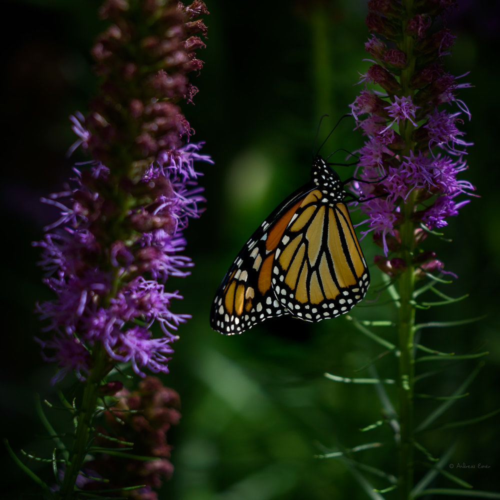 Monarch on a Blazing Star --------