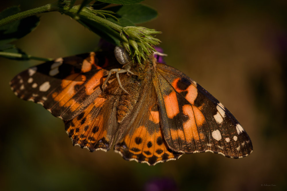 Spider paralyzing Painted Lady butterfly