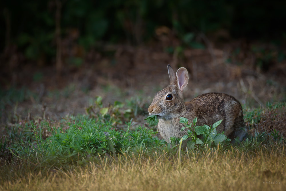 Eastern Cottontail ------