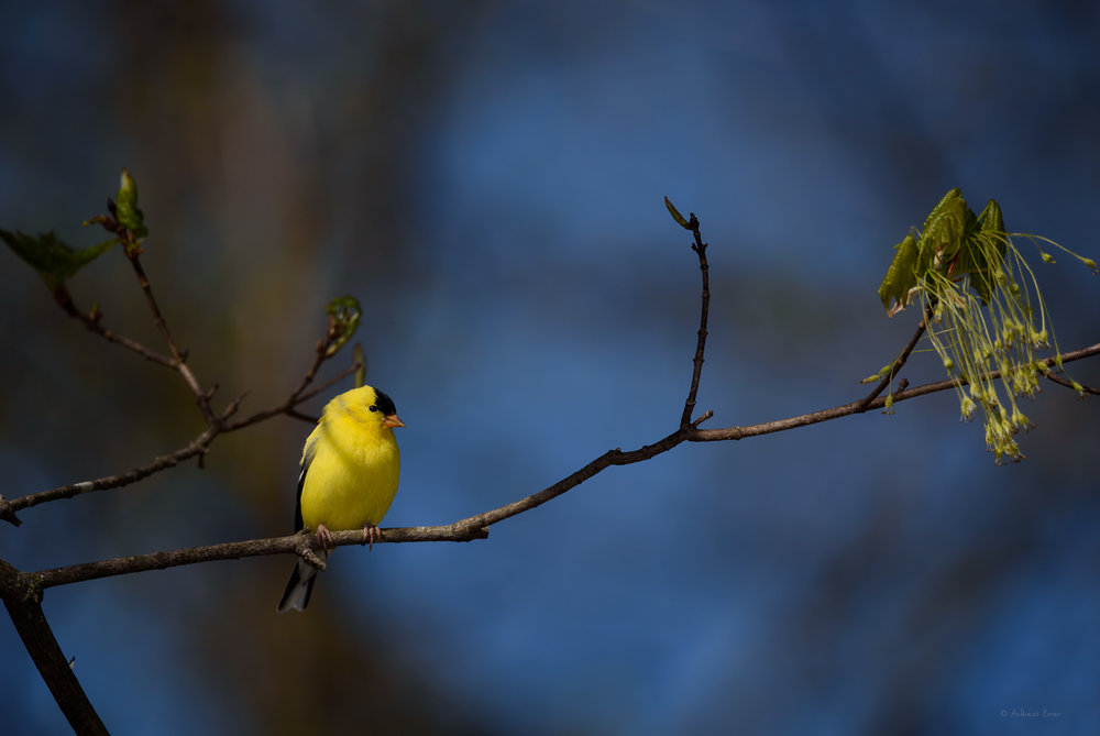 American Goldfinch in breeding plumage, April 2017
