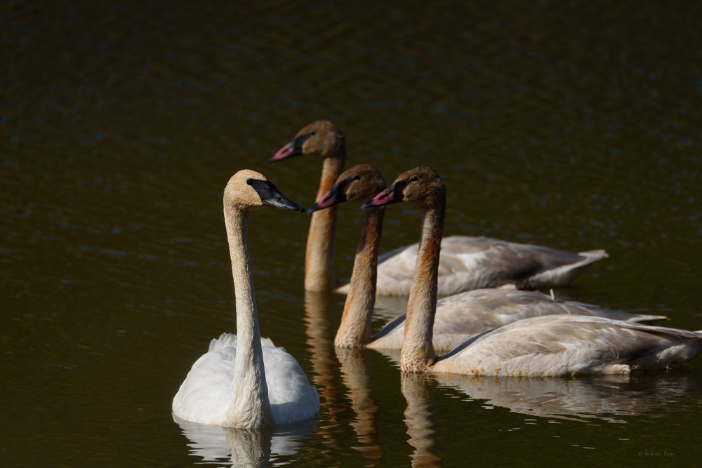 Trumpeter Swans, Mill Creek Ponds, Eastern Iowa