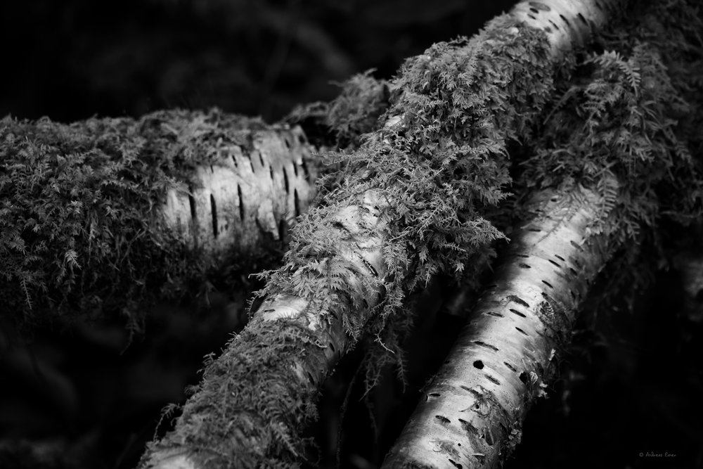 Fallen birches, Cranberry Wilderness, West Virginia ---------------