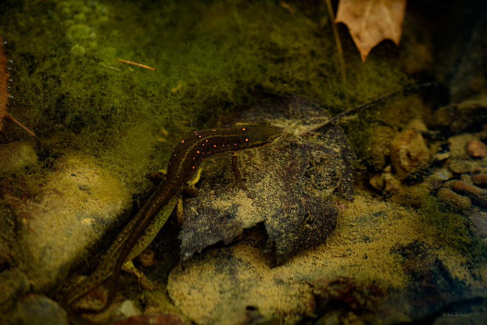 Two Red-spotted Newts, Watoga Lake, Allegheny Mountains, West Virginia ----