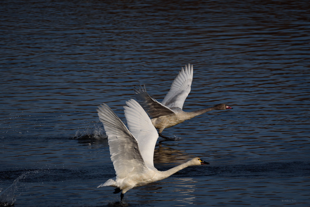 Tundra Swans, Mississippi River, between New Albin, IA and Brownsville MN ----