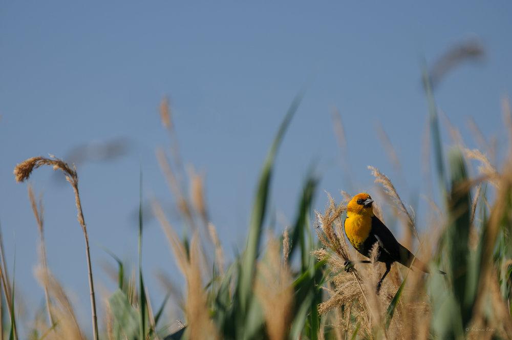 YELLOW-HEADED BLACKBIRD ♂️