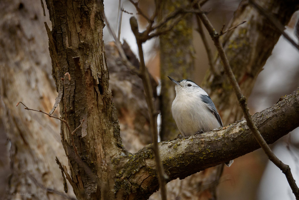 White-breasted Nuthatch, Nikon D750, Sigma 150-600mm / f5-6.3 DG OS HSM S ———