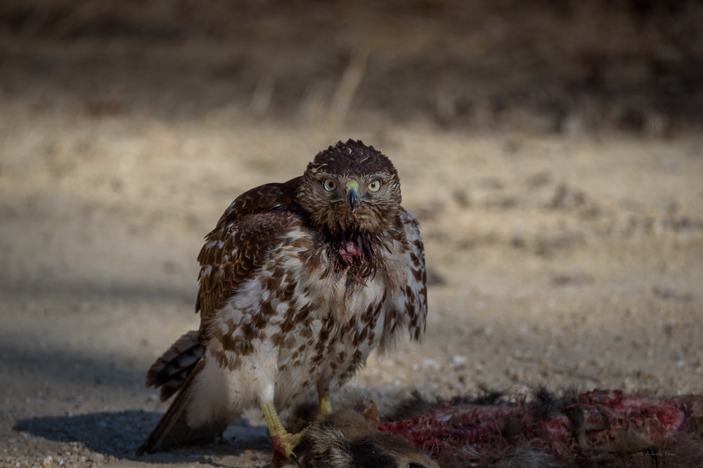 Red-tailed Hawk with roadkill