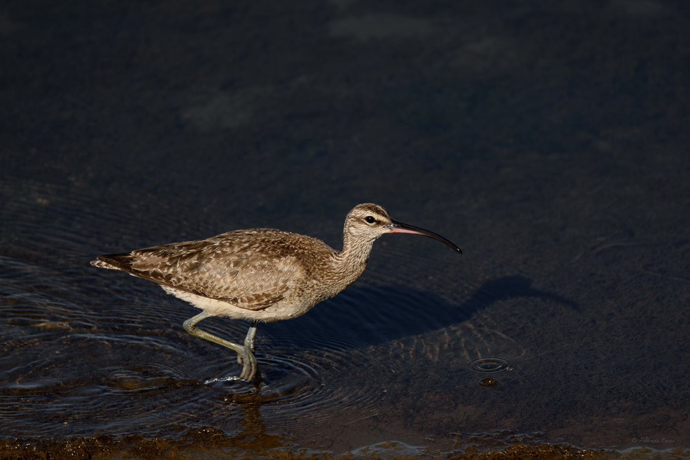 Whimbrel, Bolsa Chica Ecological Reserve, California ---------