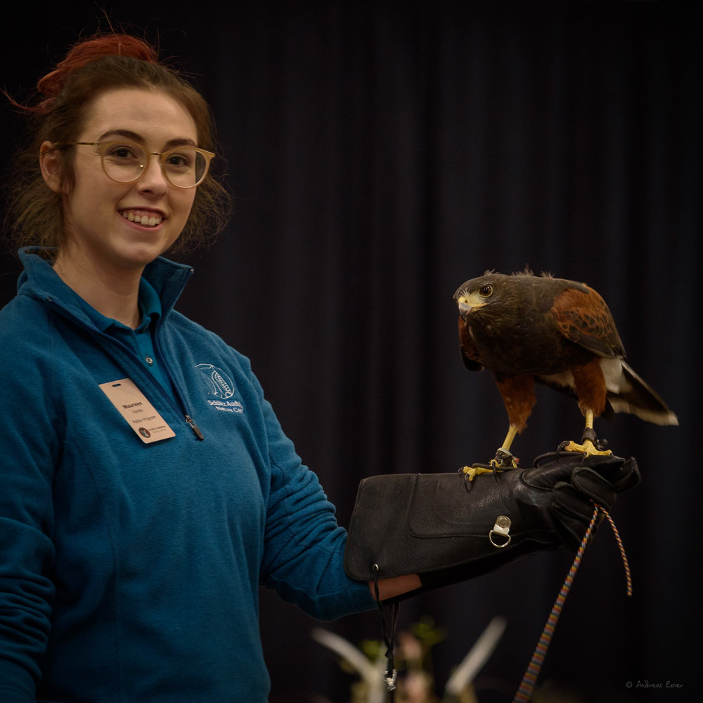 CYSCO, Harris's Hawk, hatched in captivity in 1994, excelled as a falconry bird, and came to the Schlitz Audubon Center after retirement. ------------
