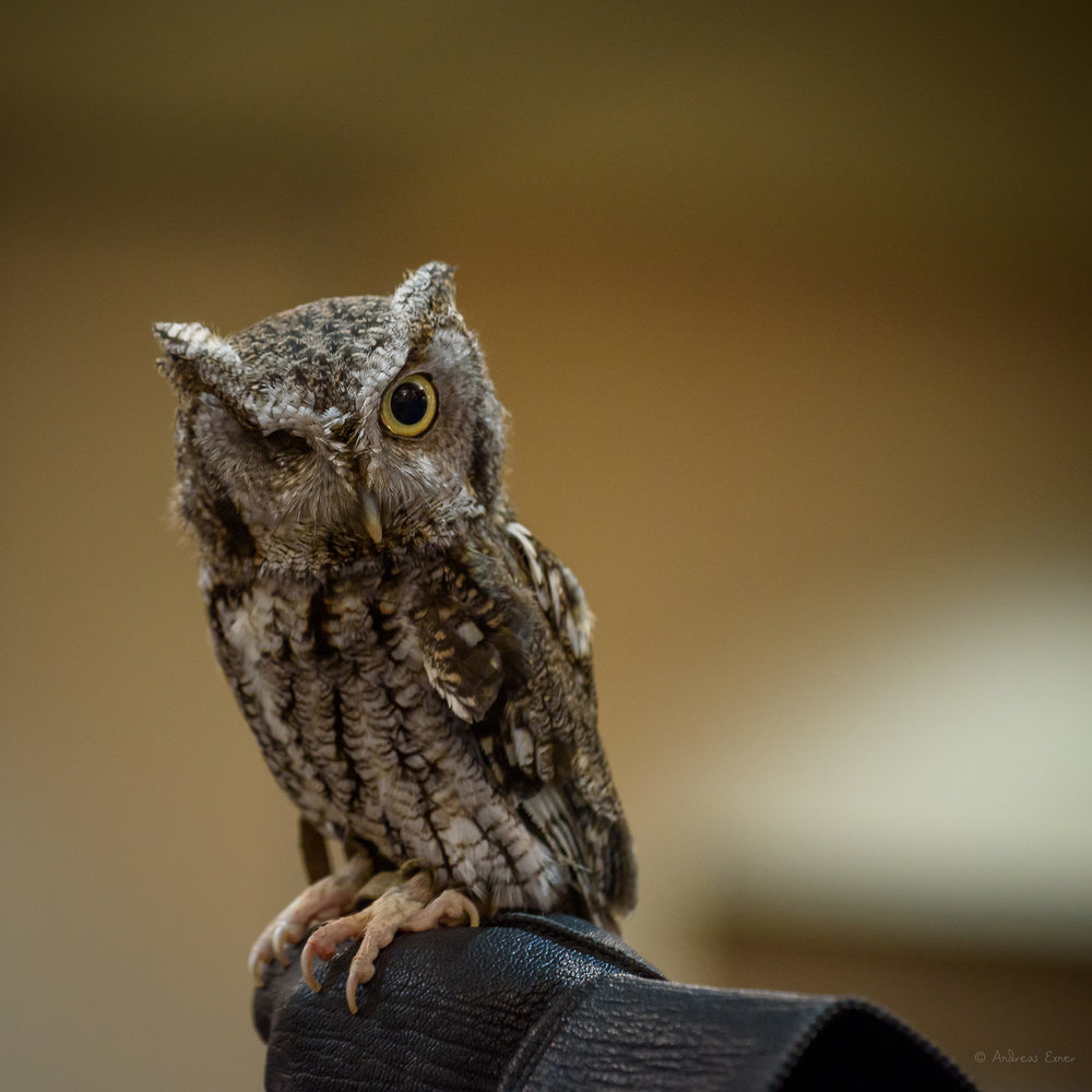 BARON VON SCREECH, Eastern Screech Owl, lost his right eye in a car accident.