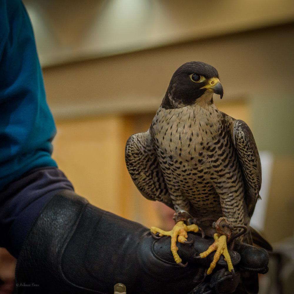 CUTRIGHT, Peregrine Falcon, a retired falconry bird.