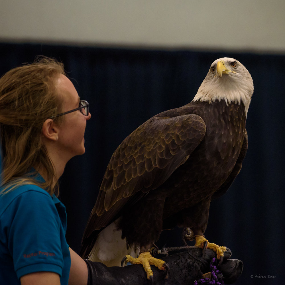 VALKYRIE, Bald Eagle, Was left by her parents earlier than normal. She did not have the hunting skills to survive in the wild. I like this photo because it shows the enormous size of an eagle, next to Sara, the main presenter of the program.