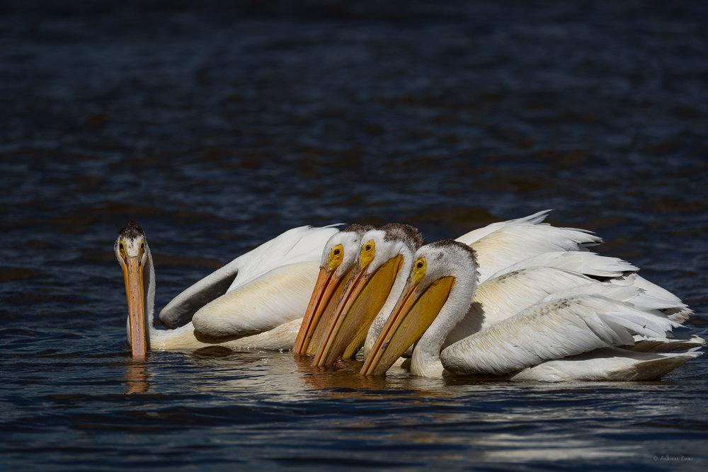American White Pelicans -----