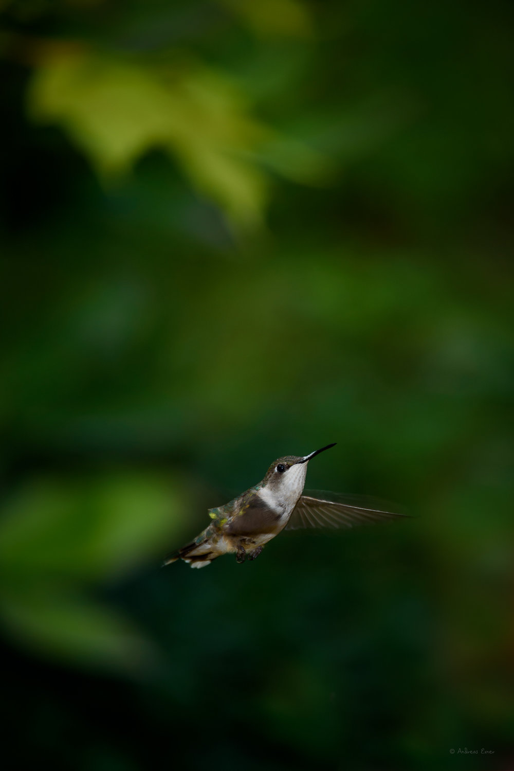 Ruby-throated Hummingbird ------