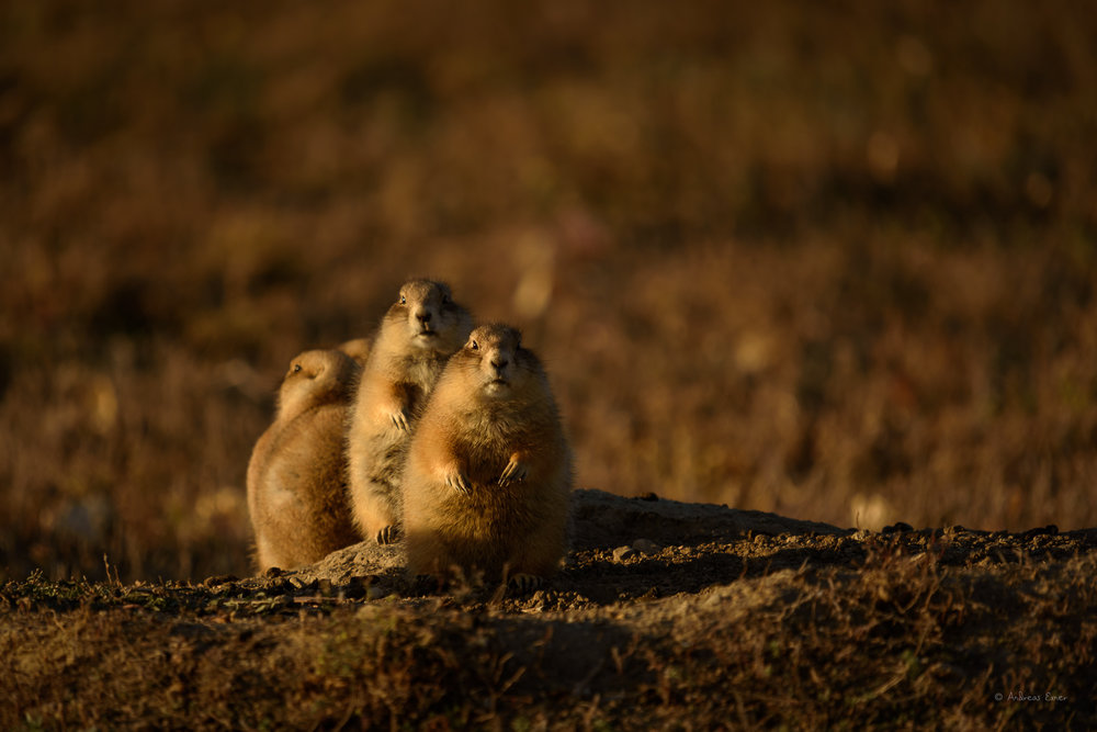 BLACK--TAILED PRAIRIE DOG
