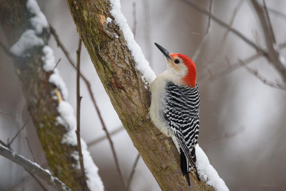 Red-bellied Woodpecker -----------