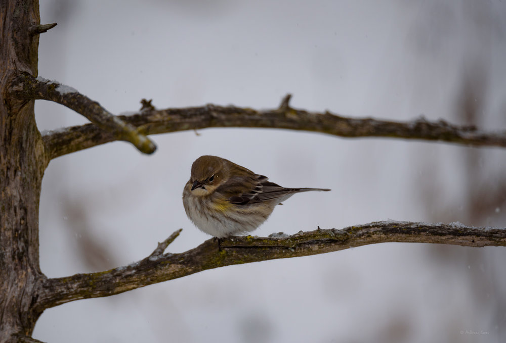 Yellow-rumped Warbler, near Durango, Iowa ----------