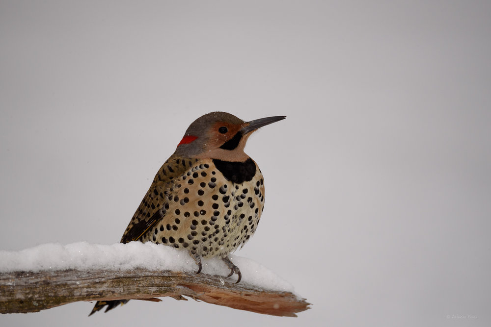 Male Yellow-shafted Northern Flicker --------