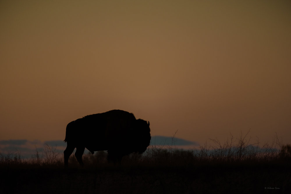 Bison at dusk, Badlands NP, South Dakota