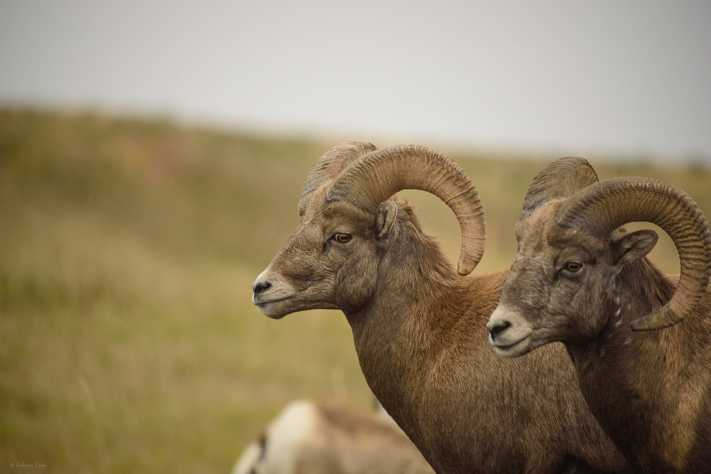 Bighorn Sheep, Badlands NP, SD