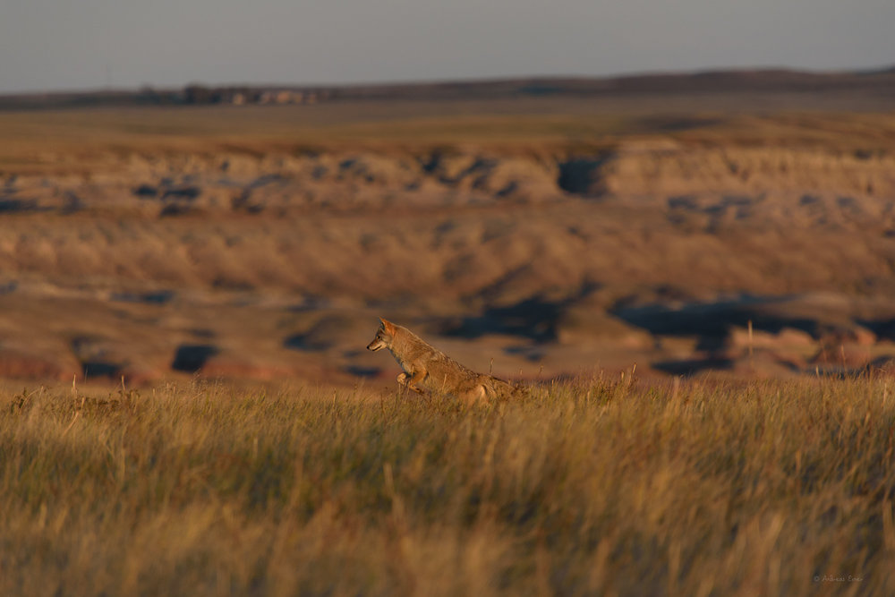 Hunting Coyote, Badlands NP, SD