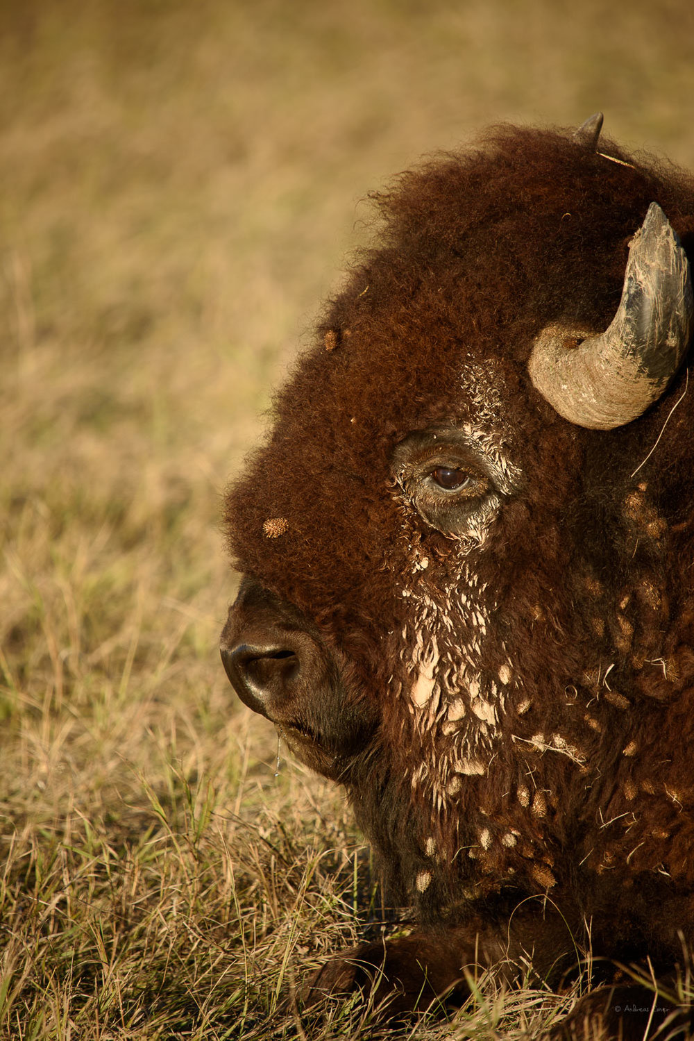 Bison, Badlands NP, SD