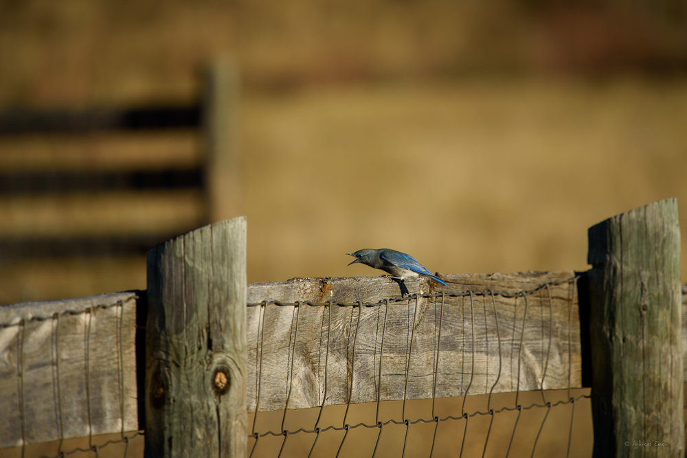 Mountain Bluebird, Custer State Park, Black Hills, SD