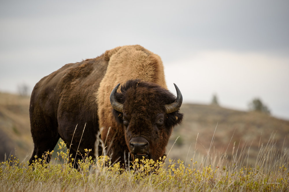 Bison, Theodore Roosevelt NP- North unit, ND