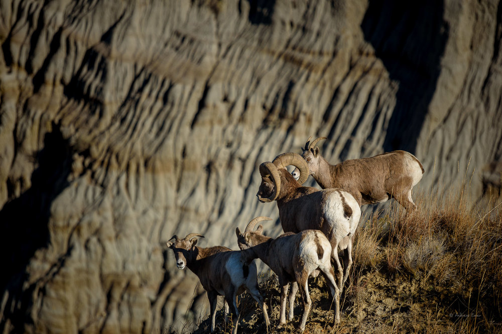 Bighorn Sheep, near Oxbow Overlook, Theodore Roosevelt NP- North unit, ND