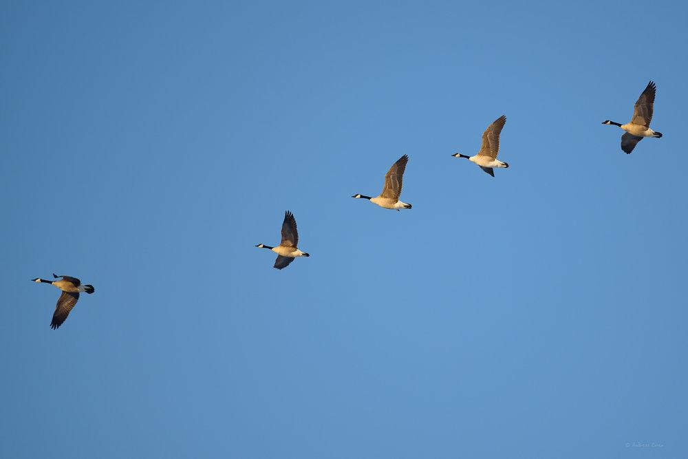 Canada Geese, Deere Marsh, Dubuque, Iowa